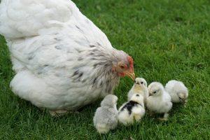 Poule blanche avec ses poussins