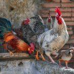 Adopter des Poules - Combien de m² faut-il Prévoir Pour les Accueillir ?