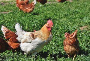 Poule et petites poules à l'extérieur