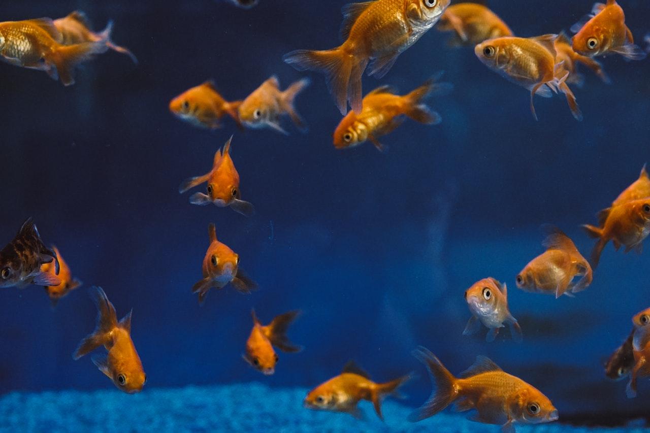 Aquarium, avec poisson rouge dans une eau bien bleu