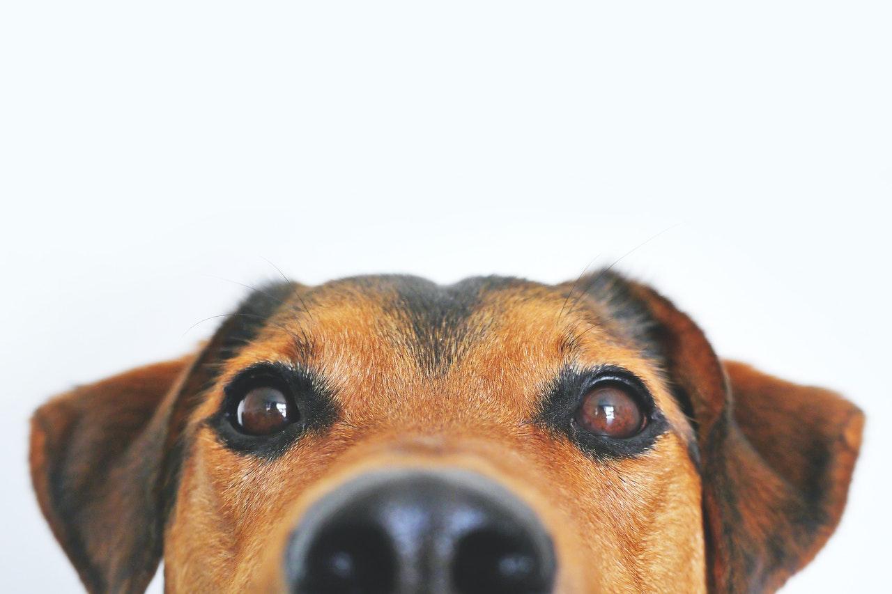 Photo de chien vu de très près, museau oreille et yeux