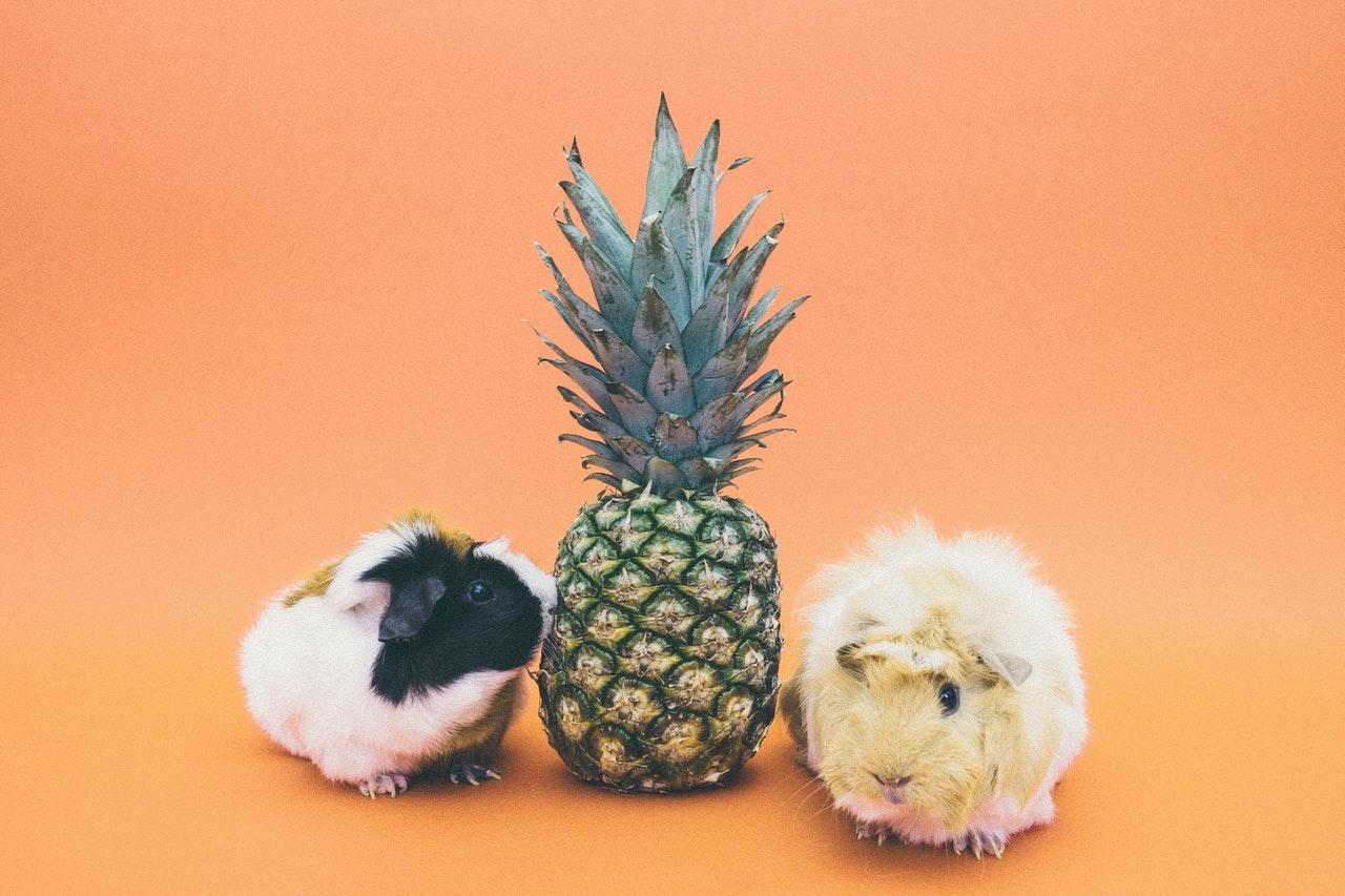 Deux cochon d'inde à côté d'un Ananas