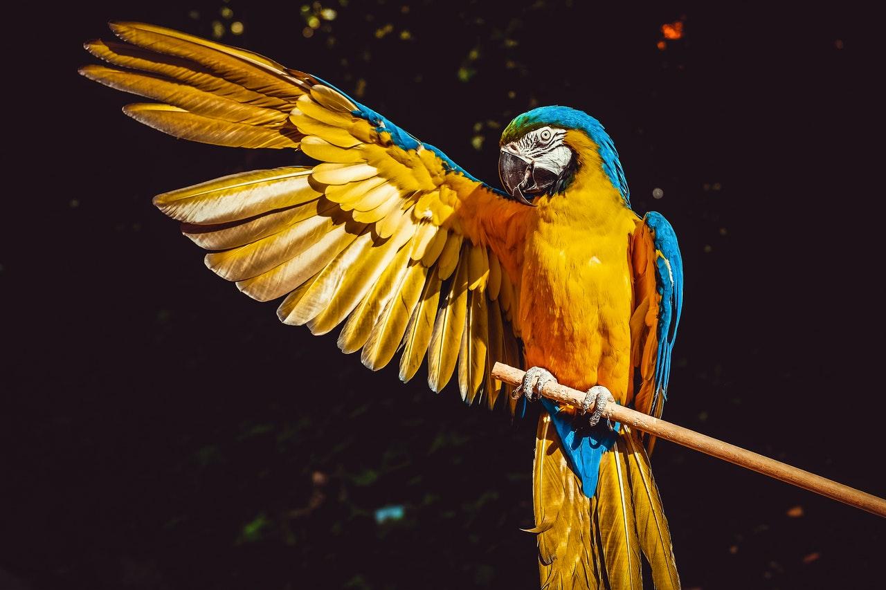 Perroquet, jaune corp bleu, sur branche