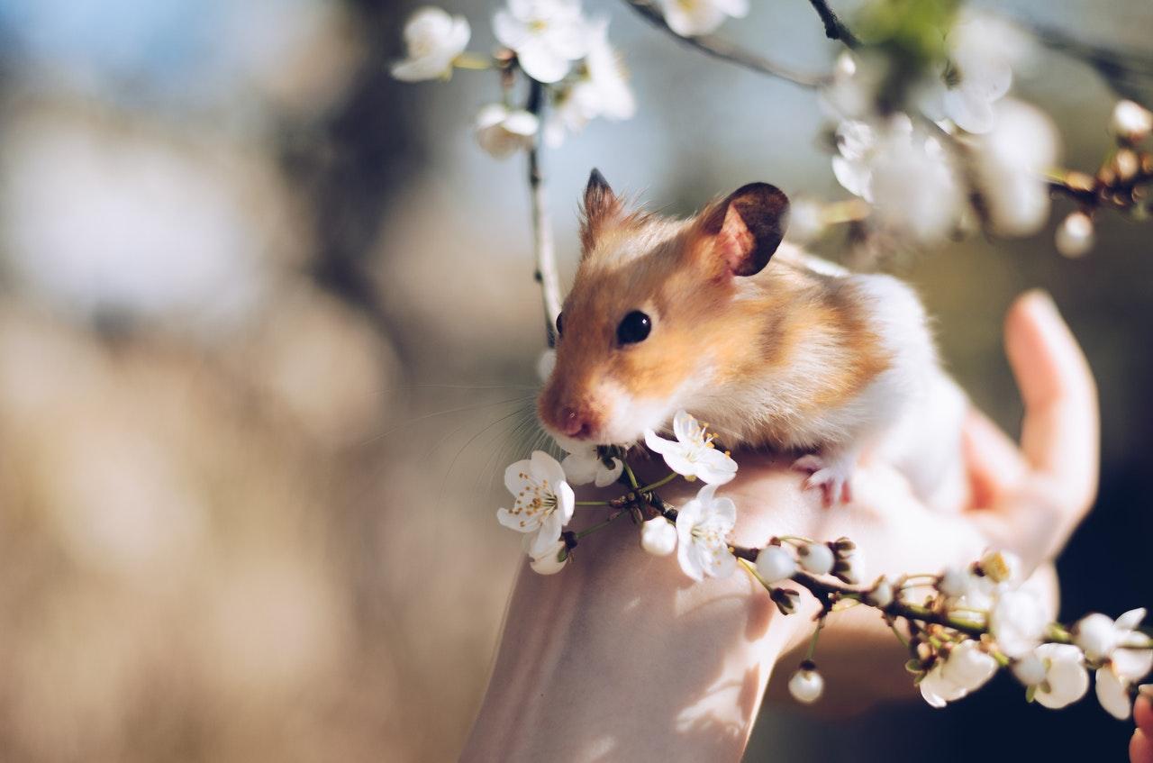 Petit hamster bicolor, dans une main apporté vers un cerisier