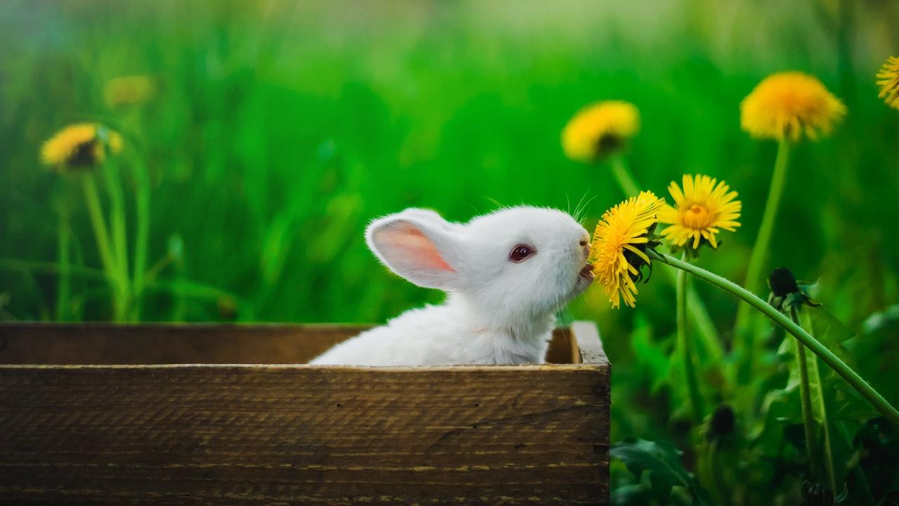 Petit lapin blanc dans une caisse en bois reniflant un pissenlit