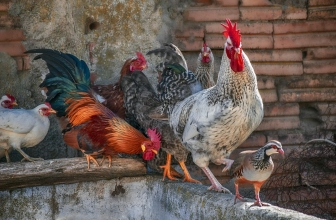 Adopter des Poules – Combien de m² faut-il Prévoir Pour les Accueillir ?